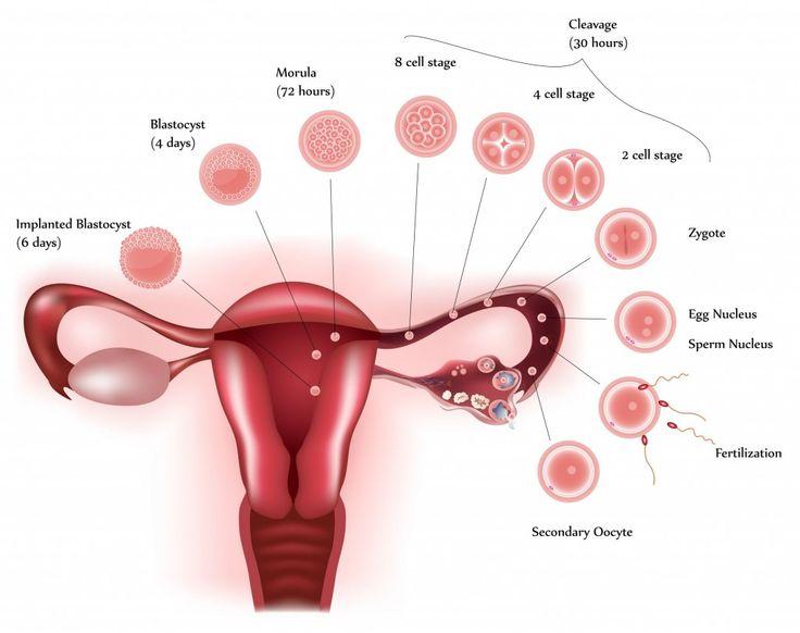 Pregnancy Week 1
