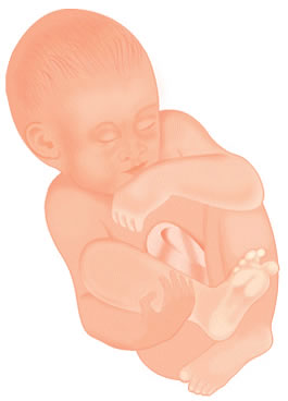 Pregnancy Development: Week 40 Artist Impression